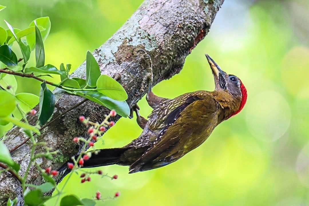 An image of the Streak-breasted woodpecker taken by Hneah at the forest.