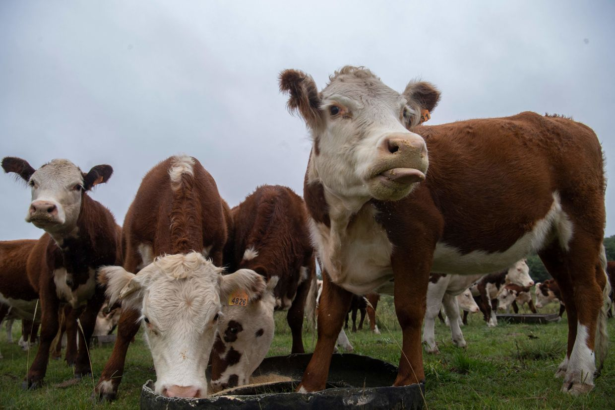 Relatively small amounts of a red macroalgae, particularly a seaweed called Asparagopsis taxiformis, introduced into feed can reduce the amount of methane generated by cattle. Photo: AFP
