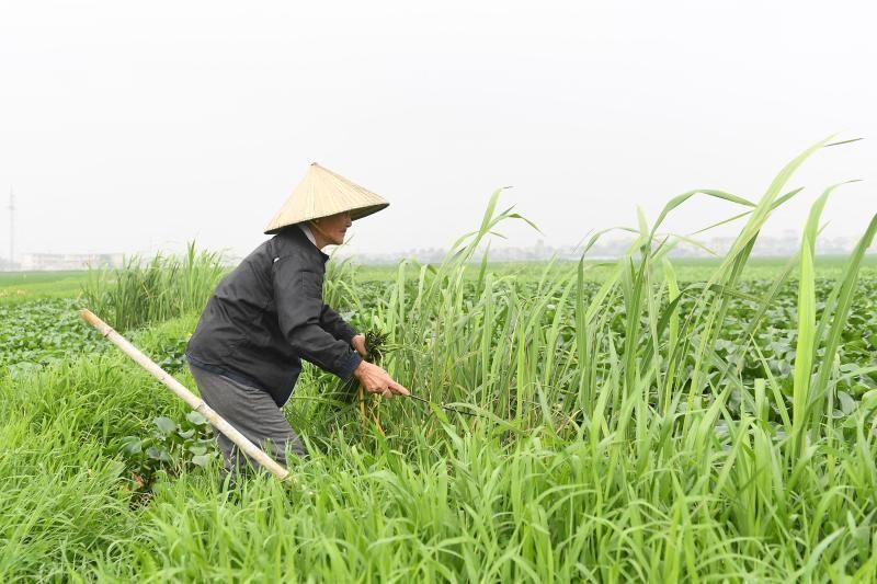 A farmer cuts grass in a field near Hanoi on Tuesday (April 6, 2021). - AFP