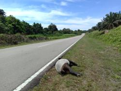 Male tapir found dead, believed to have been hit by heavy vehicle