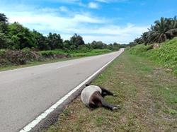 Dead tapir likely hit by heavy vehicle