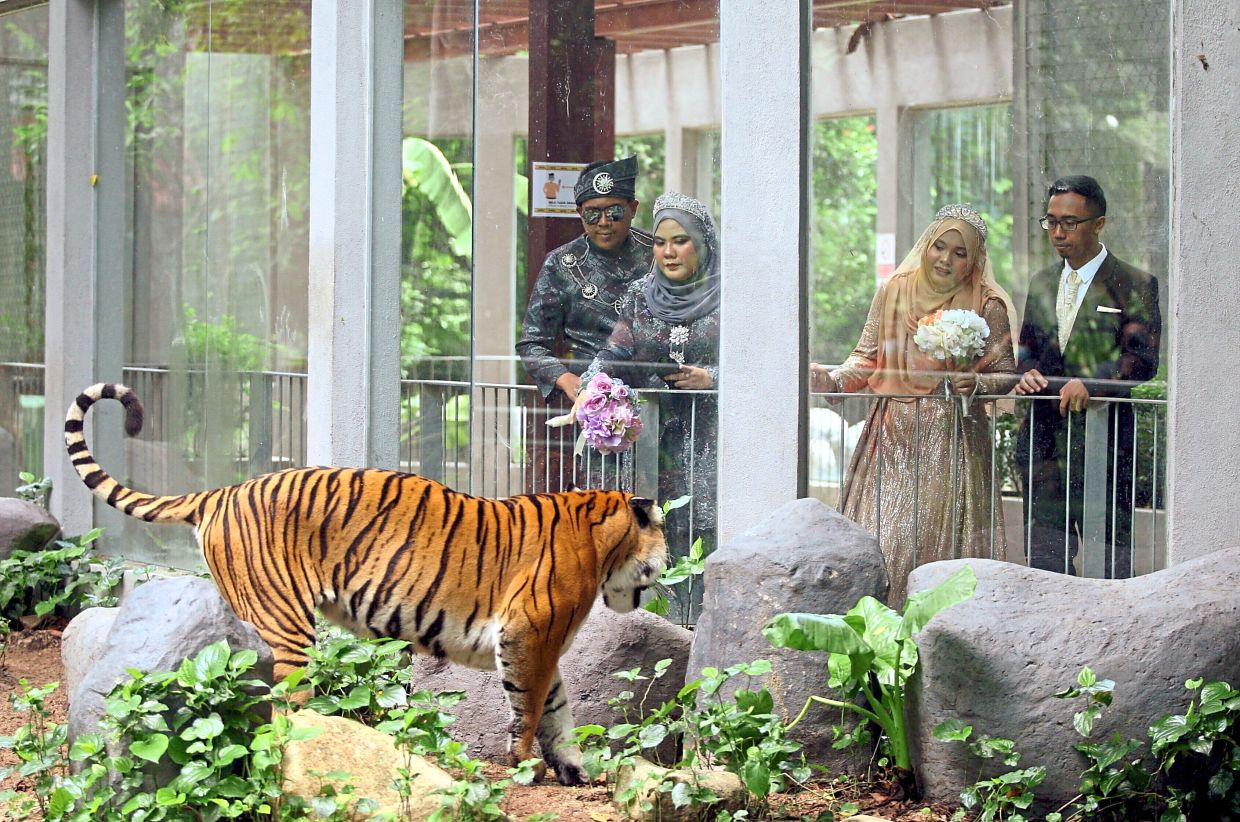 Roaring nuptials:  (From left) Mohd Hafizi, Mustaza Syirin, Nursyahidah and Mohamed Rafiq looking at a tiger after their wedding receptions at Zoo Negara. — AZMAN GHANI/The Star