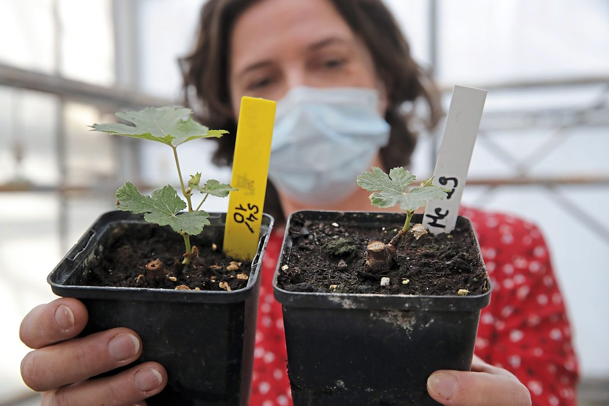 Stephanie Cluzet, Head of Vine Researcher for the ISVV holds up a snippet of grapevines (left) that spent a year orbiting the world, compared with another sample of grapevine of the same age and grape variety grown on earth.