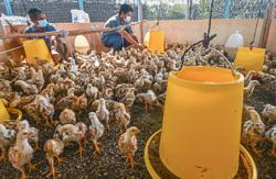 Helping chicken project to take off