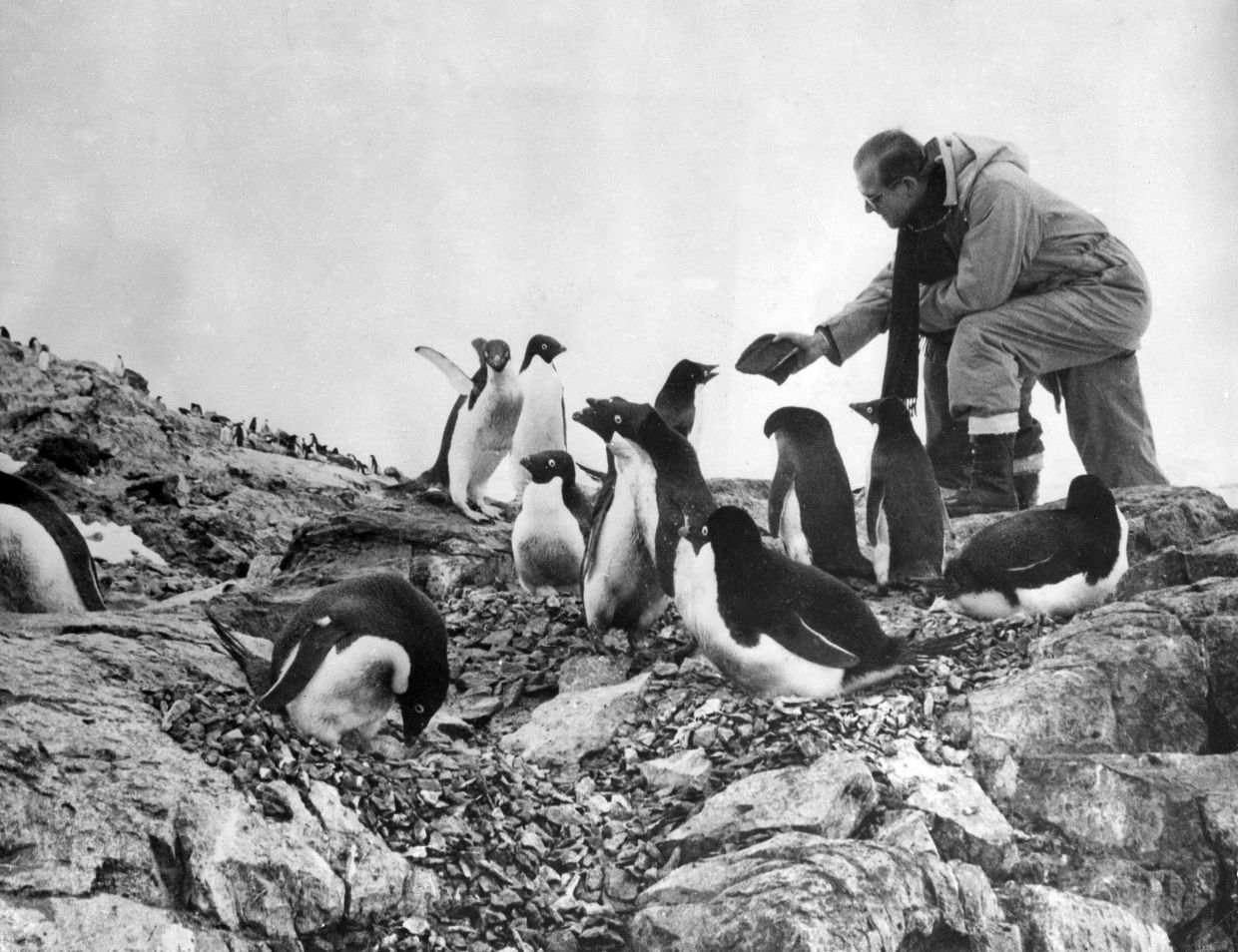 In this 1957 photo, Prince Phillip feeds a colony of penguins during a visit to the Antarctic. Photo: AP