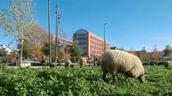 This herd of city sheep is bringing a bit of gentle nature to urban spaces