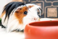 Are guinea pigs the perfect pandemic pet? Not quite, experts say