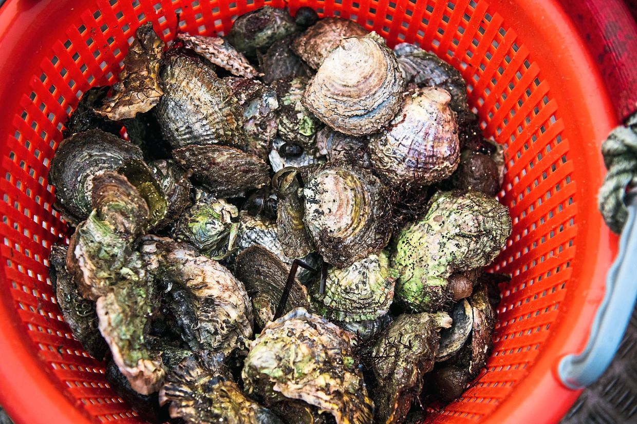 Wild oysters in a bucket collected by Klemming.