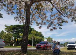 Flowering cherry blossom-like trees drawing people to Penampang