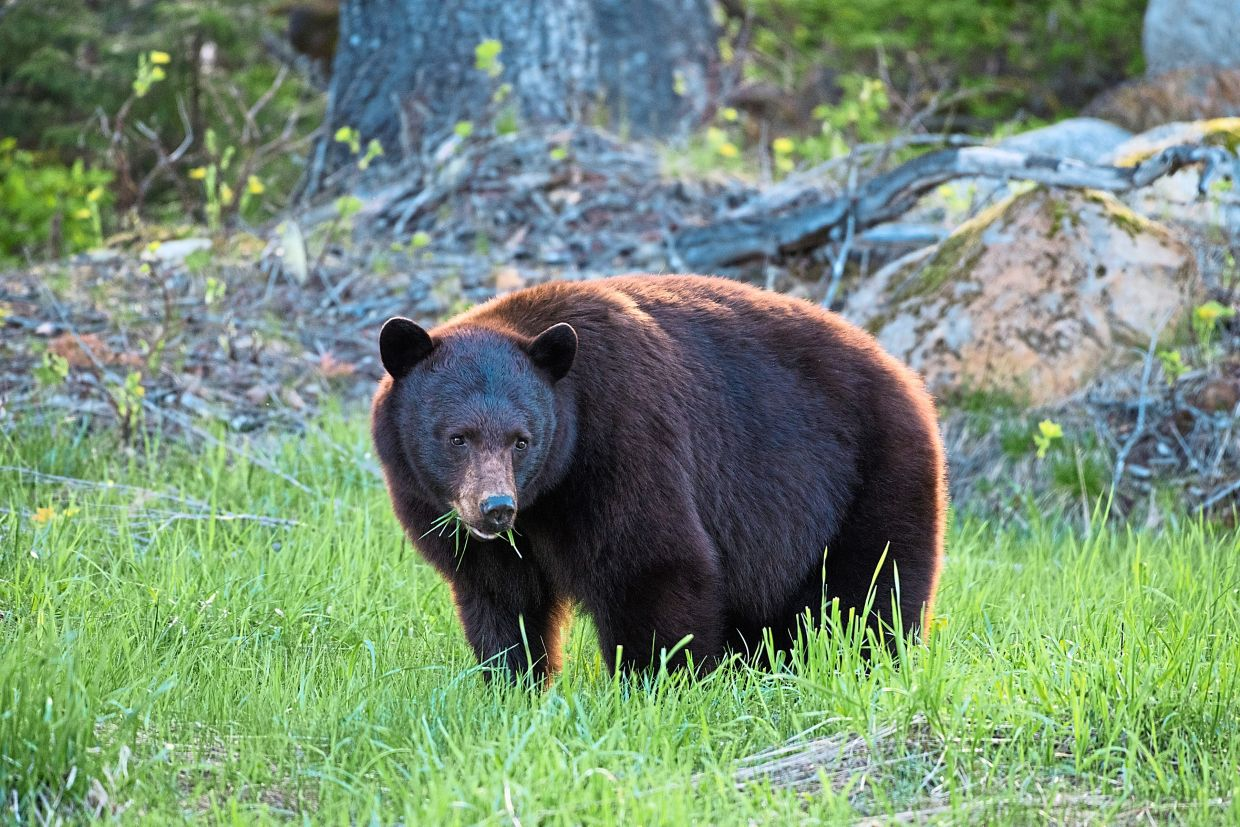Bears, like this black bear in Whistler, Canada, are always on the lookout for food. — MIKE CRANE/Tourism Whistler/dpa