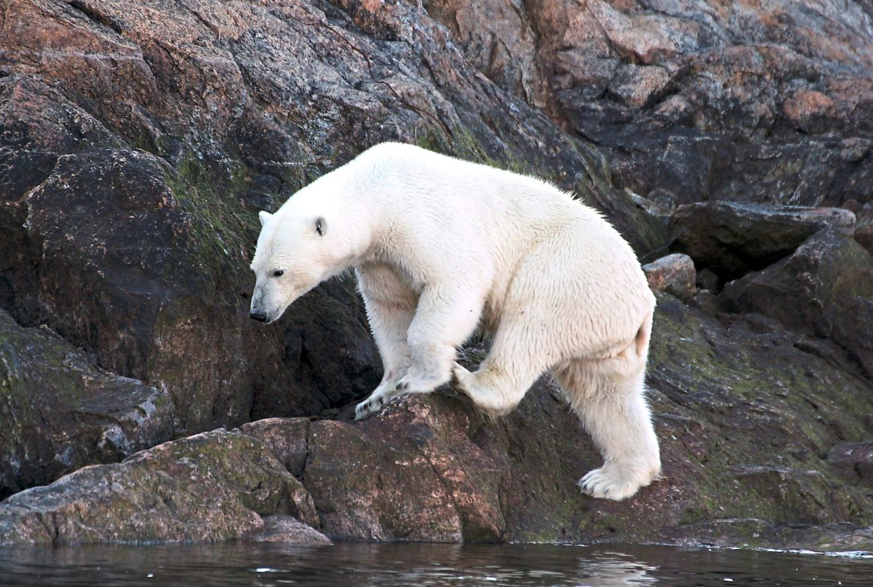 A polar bear in Canada's Baffin Bay:These bears are not often seen by travellers in North America. — VERENA WOLFF/dpa