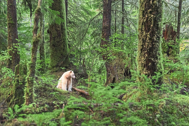A rare Kermode Bear, or Ghost Bear as the locals call him, in the Great Bear Rainforest on Canada's west coast. — YURI CHOUFOUR/Destination BC/dpa