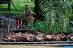 Indonesia's new plantation rules renew conflict between jobs, environment