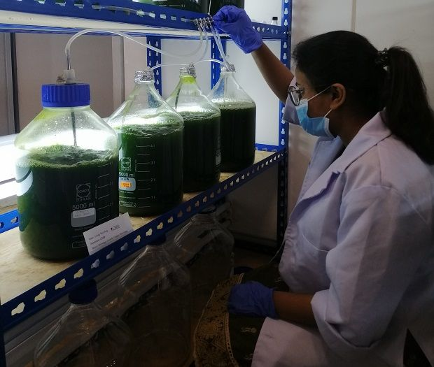 Growing microalgae for sustainable biofuel and biochemicals production.