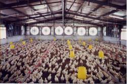 Big integrated poultry players less impacted by higher feed costs