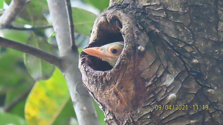 Barbet chick peering out from a tree trunk at Taman Rimba Kiara.