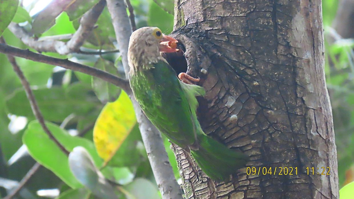 Lineated Barbet with a cherry in its beak. Photos: Dr Kannan Pasamanickam