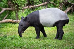 Female tapir rescued by Johor Perhilitan in Mersing