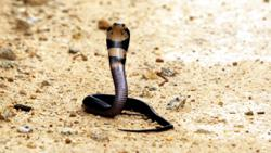 Researching snake venom in hope of finding life-saving treatments