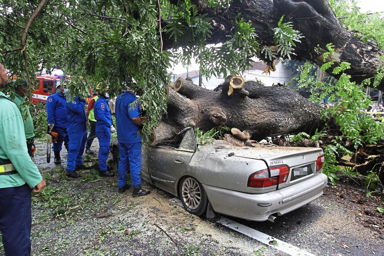 The uprooted tree which  fell on the  car and killed the driver.