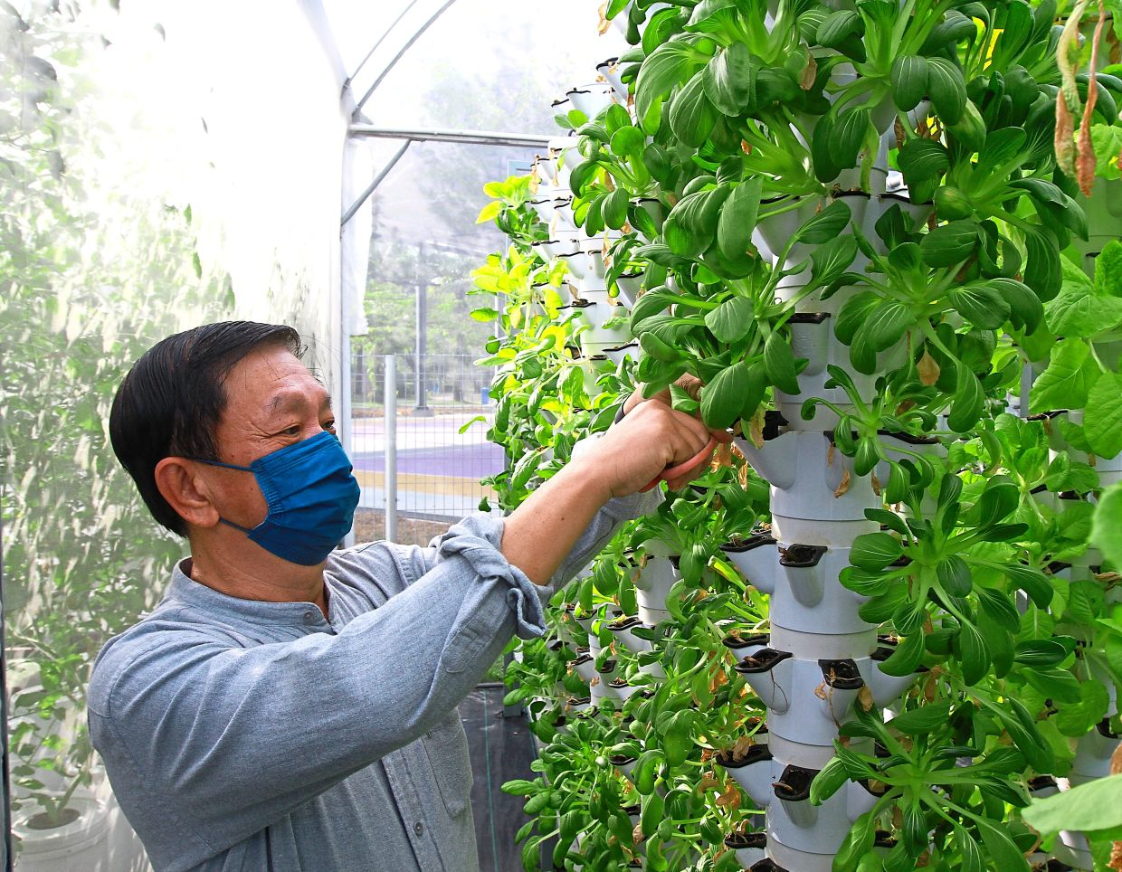 A customer, William Pang, harvesting vegetables that he wants to buy.