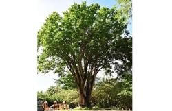 Contest to find biggest angsana tree in Malaysia