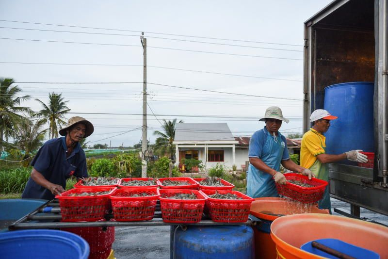 Shrimp farmers load a truck with harvested shrimps in Soc Trang province. - Reuters