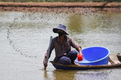 Faced with climate challenges, Vietnamese rice farmers switch to shrimp