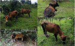 GOF seizes 13 cows smuggled from Thailand into Rantau Panjang
