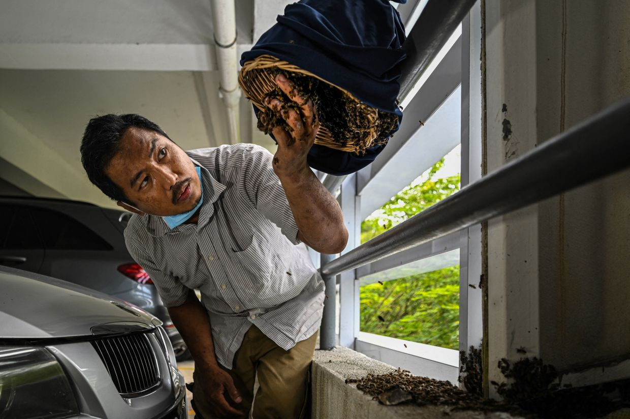Ooi Leng Chye from the MY Bee Savior Association transferring rescued bees from honeycombs into a rattan basket in the parking lot of an apartment building in Kuala Lumpur. – Photo: AFP