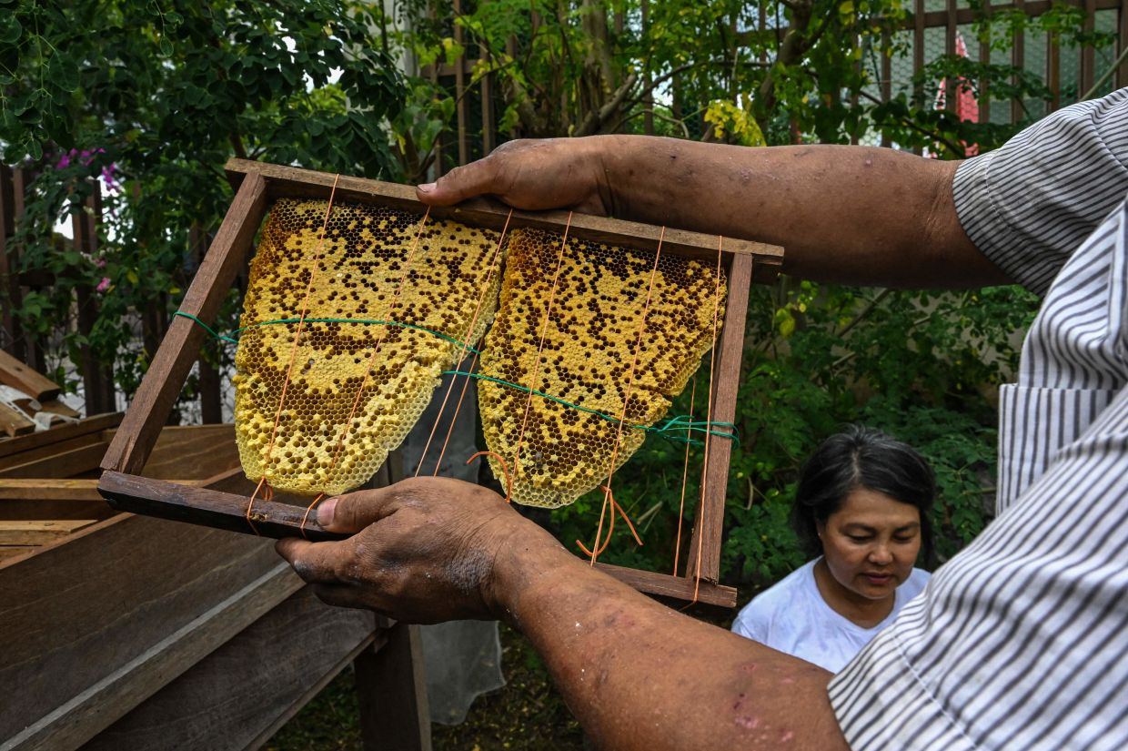 Ooi Leng Chye from the MY Bee Savior Association carrying rescued honeycombs into a Langstroth hive at a house in KL.