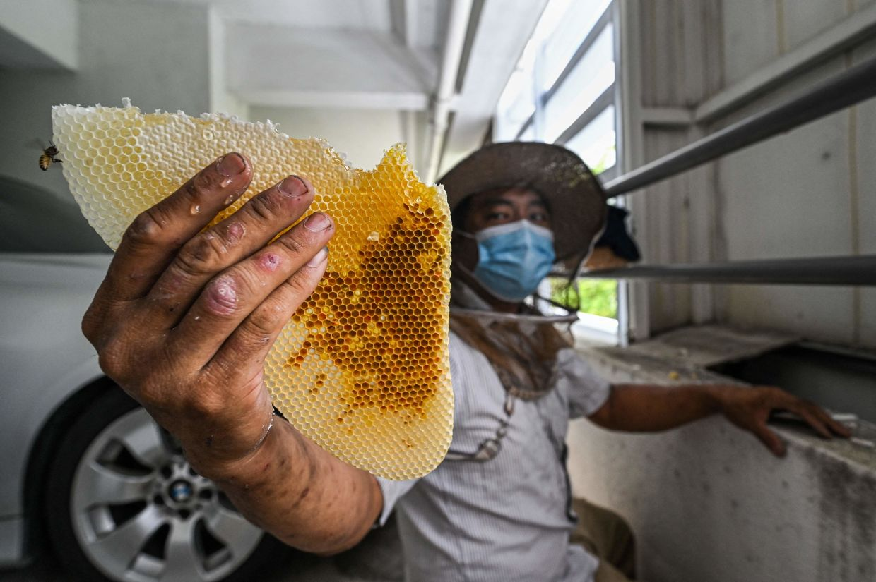 Ooi showing a honeycomb from a hive of rescued bees in the parking lot of an apartment building in KL. – AFP