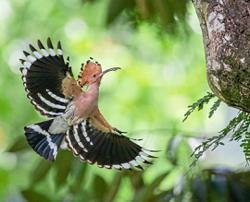 Rare hoopoes spotted nesting in Taiping Lake Gardens
