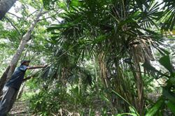 Harvesting essential fronds for Hari Raya
