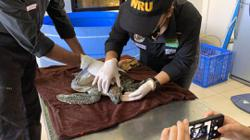 Rescued turtle, cured of floater syndrome, returned to sea in Sabah