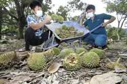 Dry season for durian because of rain