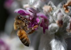 World Bee Day: Working to build better bees to survive what's killing them