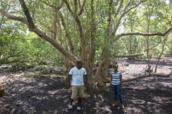 Magic bullet against climate change? Saving mangroves in Kenya