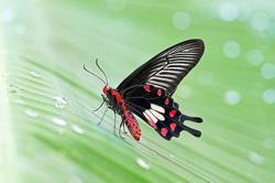 Local butterflies develop taste for the exotic