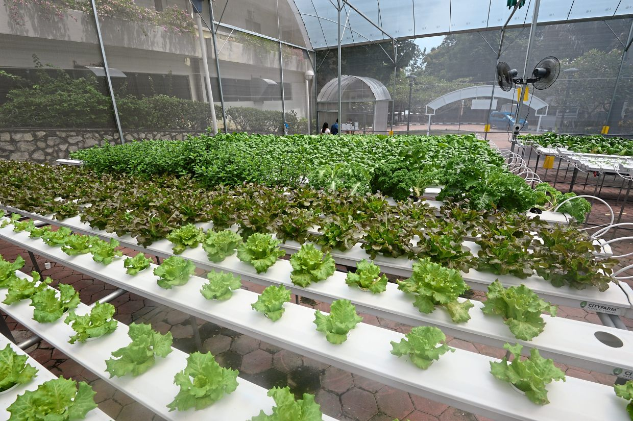 The hydroponic glasshouse at Sunway FutureX uses modern technology to monitor the light intensity and humidity of the surroundings to ensure it provides the optimum environment for vegetables.