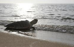 Carcass of green turtle believed killed for its eggs found in Pulau Kapas