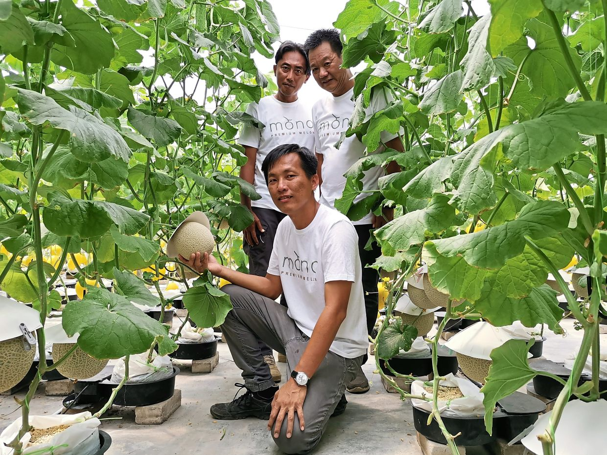 Seh (in front), Mohd Sofian (standing left) and Yeo with the musk melon vines they are growing in Putrajaya.