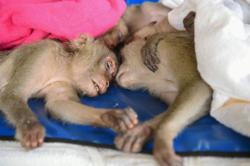 Thai authorities rescue wild macaques smuggled in pickup truck
