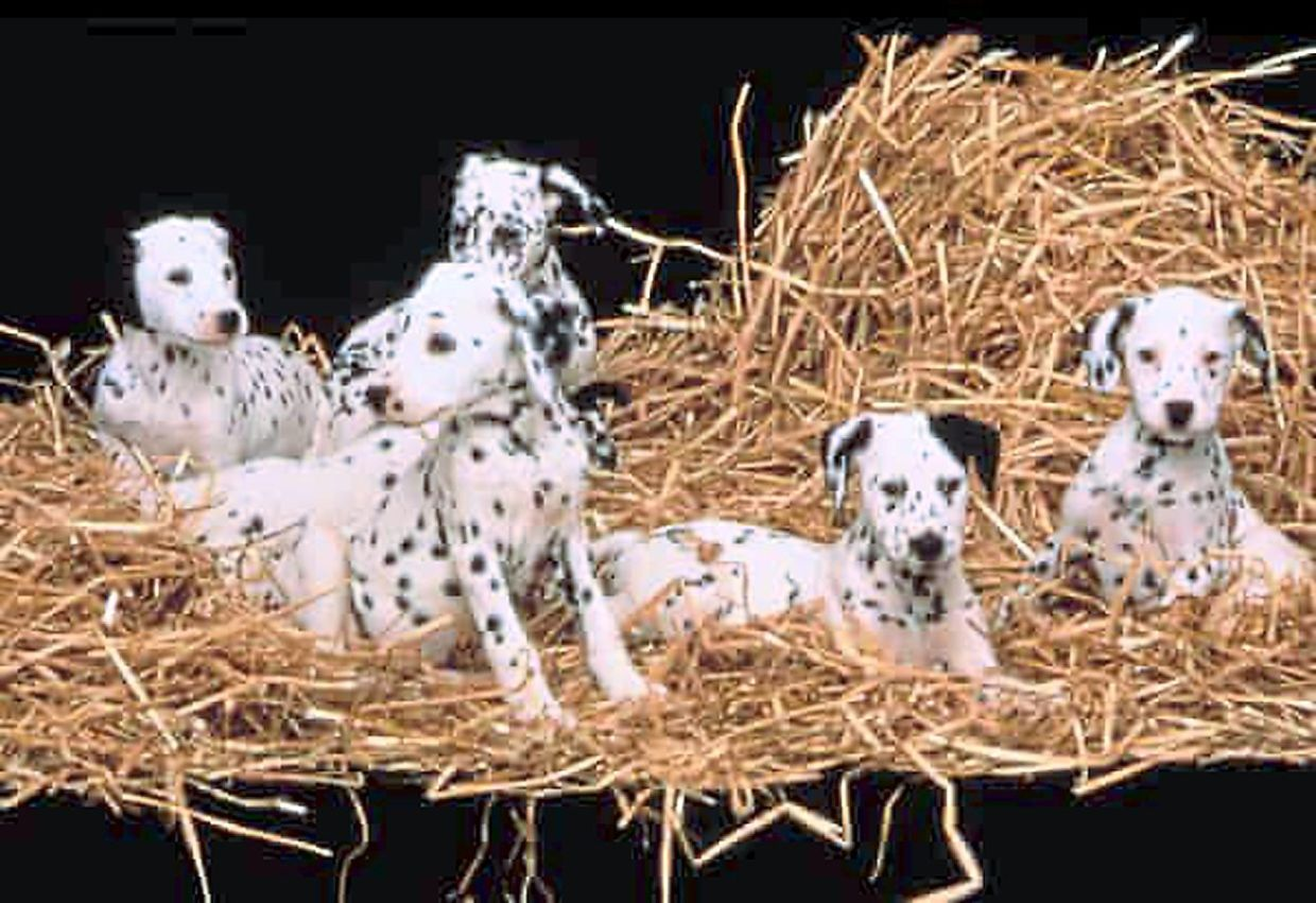 When 101 Dalmatians was released in 1996, kids clamoured for the adorable polka-dotted dogs.