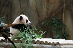Our panda Liang Liang gives birth to third cub
