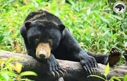 PIDM adopts five sun bears