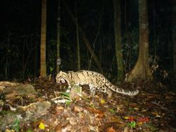 Clouded leopard found in Kg Bukit Bertam dies of viral infection