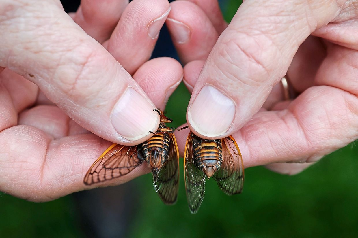 If you see some cicadas, stand still and snap your fingers. Then you can just pick and pack them up. — AFP