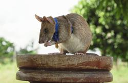 Mine-sniffing rat Magawa ends years of hard work