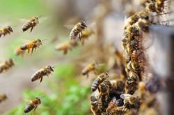 Can Darwinian beekeeping help protect the honey bees?